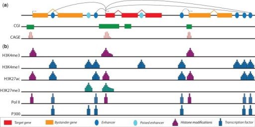 (a) The genomic regulatory block model of transcriptional regulation. Genes involved in the regulation of developmental processes are themselves regulated by enhancers located in a variety of locations, both upstream and downstream. Developmentally regulated genes tend to have CpG islands (CGIs) that overlap with its promoter and extend into the body of the gene. Genes with Type II and III promoters typically feature a broad TSS distribution, as detected by CAGE. (b) Regulatory elements within the genome can be identified by distinct patterns of histone modifications and TF binding. Promoters are enriched for H3K4me3, with active promoters showing evidence of PolII binding. The presence of the repressive mark at promoters and depletion of H3K4me3 is associated with inactive repressed promoters. Promoters having both H3K4me3 and H3K27me3 are termed bivalent promoters; they are repressed but poised for activation. Both poised and active enhancers are marked by the histone modification H3K4me1 and show depletion of H3K4me3. In addition, active enhancers are marked by H3K27ac and the binding of P300, whereas poised enhancers lack H3K27ac and may be marked by H3K27me3.