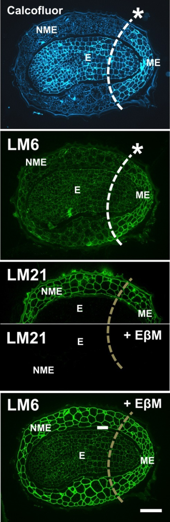Indirect immunofluorescence labelling of sections through tobacco seeds with Calcofluor White, LM6 arabinan and LM21 heteromannan probes. In some cases, the equivalent sections were pre-treated with endo-β–mannanase (+EβM) to remove the abundant heteromannan. E, embryo; ME, micropylar endosperm; NME, non-micropylar endosperm. White dashed lines with an asterisk indicate that a tissue asymmetry is detected. Brown dashed lines indicate no tissue level asymmetry was detected. Scale bar = 50 μm.