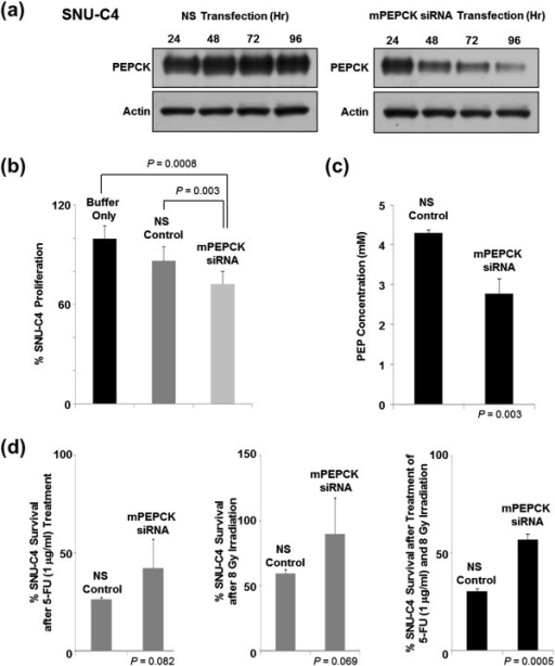 Effect of mPEPCK downregulation on 5-FU response in SNU-C4 cells. (a) Suppressed mPEPCK expression in SNU-C4 cells transfected with mPEPCK siRNA. The PEPCK expression levels decreased over time in the mPEPCK siRNA-transfected cells, while the nonsilenced (NS) control showed no apparent changes in the PEPCK expression levels. (b) Decreased cell proliferation rate after mPEPCK suppression. With no 5-FU or radiation treatment, artificial suppression of mPEPCK decreased the rate of cell proliferation. (c) Reduced cellular PEP level after mPEPCK suppression. (d) Increased 5-FU and radiation resistance was observed after mPEPCK suppression in SNU-C4 cells. MTT assay showed that the mPEPCK siRNA-transfected SNU-C4 cells exhibited higher survival rates than the control after combination treatment comprising 5-FU and radiation.