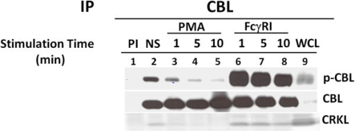 PMA treatment reduced the tyrosine phosphorylation of CBL and dissociation of binding of CRKL to CBL. Immunoprecipitations of U937 cell lysates were performed with anti-CBL antibody after PMA or FcγRI stimulation. Lane 1 & 2 indicates preimmune and resting state (NS) respectively. Lane 3, 4 & 5, treated with PMA (200 ng/ml) for 1, 5 and 10 min. respectively. Lane 6, 7 & 8, stimulated for FcγR1 with 32.2 F(ab)2 and cross linked with secondary antibody (rabbit anti mouse F(ab')2) for 1 , 5 and 10 min. respectively. Whole cell lysate was added in lane 9 as positive control (WCL). Immunoprecipitated proteins were resolved in 10% SDS-PAGE, blot on nitrocellulose membrane and probed with anti-phosphotyrosine antibody (4G10). This blot was again reprobed with anti-CBL and anti-CRKL antibody. This experiment was repeated three times.