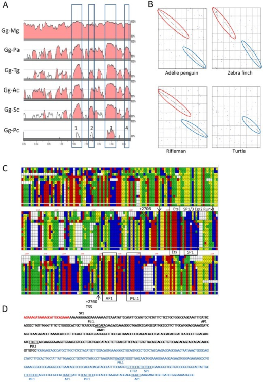Identification of putative macrophage lineage-specific regulatory elements in the first intron of the chicken CSF1R gene. (A) mVista alignment (http://gsd.lbl.gov/vista/) of the CSF1R first intron comparing chicken (Gg) with turkey (Mg), Adélie penguin (Pa), zebrafinch (Tg), rifleman (Ac), ostrich (Sc) and Chinese softshell turtle (Pc). Conserved regions (>70% homology over 100 bp window) are shaded. The positions of four major conserved non-coding elements (CNEs) are boxed and numbered. (B) Pustell DNA matrix alignment of the avian/reptile CSF1R CNE2 and CNE3. The unbroken diagonal lines represent regions of high sequence conservation, and the broken and offset lines indicate that an insertion has occurred in the chicken/turkey lineage in comparison with the other species shown here. The avian-specific CNE2 is highlighted in red; the CNE-3, which is conserved in birds and turtle sequence, is highlighted in blue. (C) Alignment of mammalian Fms-intronic regulatory element (FIRE) with the CSF1R CNE3 region in birds/reptiles. Species sequences from top to bottom are human, mouse, platypus, turtle, alligator, Adélie penguin, budgerigar, ostrich, rifleman, zebrafinch, duck, turkey, chicken and consensus sequence. Arrows indicate the location of the two murine FIRE transcription start sites (Sauter et al., 2013) and conserved transcription factor binding sites are also shown. (D) Sequence of the chicken macrophage lineage-specific regulatory element used in this study: binding sites for PU.1, C/EBP, AP1, SP1 and AML1 are identified. The avian-specific CNE2 is highlighted in red and the avian-reptile-mammal conserved CNE3 is in blue.