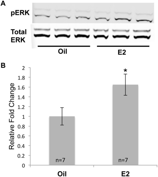 E2 increases pERK protein levels.(A)Western blot analysis was used to monitor pERK and total ERK levels in the cortices of mice that had been treated with oil or E2 for 7 days. (B) pERK values were normalized to total ERK and are displayed as the normalized fold change ± SEM. The Student's t-test was used to detect significant differences in oil- and E2- treated animals (*p<0.05). The number of animals in each treatment group is indicated at the base of each bar.