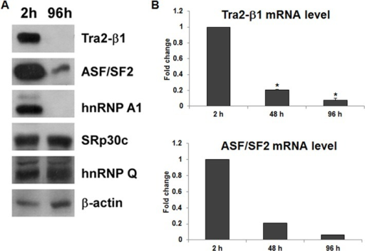 The levels of Tra2-β1 and ASF/SF2 decrease during testis cell primary culture, which is correlated with SMN2 exon 7 splicing.(A) Proteins extracted from primary testis cells cultured for 2 hours and 96 hours were subjected to Western blotting to detect Tra2-β1, ASF/SF2, hnRNP A1, SRp30c, and hnRNP Q. A representative result of two independent experiments was shown. The result showed that the levels of Tra2-β1, ASF/SF2, and hnRNP A1 decreased dramatically from 2-hour to 96-hour cultures. (B) Total RNA was isolated from primary testis cells cultured for different time periods and subjected to qRT-PCR to detect Tra2-β1 and ASF/SF2 mRNA expression levels. The result showed that the mRNA levels of Tra2-β1 and ASF/SF2 decreased after longer cultures, which was consistent with the protein expression. Error bars represent standard deviation. (*) P < 0.01, compared with 2-hour cultured cells.