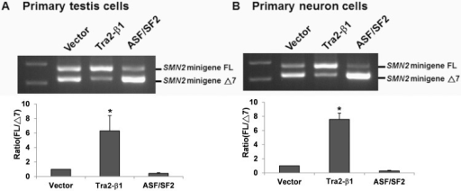 Overexpression of Tra2-β1, but not ASF/SF2, increases SMN2 exon 7 inclusion in primary testis cells and spinal cord neurons of SMA mice.Primary testis cells (A) and primary spinal cord neurons (B) of SMA mice were co-transfected with SMN2 minigene plasmid and Tra2-β1 overexpression plasmid, ASF/SF2 overexpression plasmid or blank vector as control for 48 hours. Total RNA was isolated from transfected cells and then subjected to RT-PCR to amplify SMN2 minigene FL and Δ7 mRNAs. The result showed that overexpression of Tra2-β1, but not ASF/SF2, remarkably increased SMN2 exon 7 inclusion in both primary testis cells and primary spinal cord neurons of SMA mice. Error bars represent standard deviation. (*) P < 0.05, compared with the vector control.