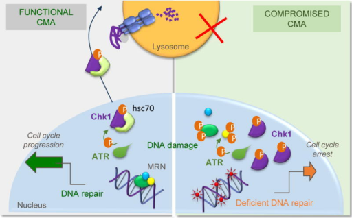 CMA malfunction results in genome instabilityCMA is upregulated in response to different genotoxic insults to assure timely release of cell cycle arrest after DNA repair, through the selective degradation of nuclear pChk1. When CMA activity is compromised, abnormally high levels of pChk1 persist in the nucleus leading to accumulation of DNA damage and to aberrant hyperphosphorylation of several components of the MRN complex and their subsequent destabilization. These and other alterations in nuclear proteostasis consequence of CMA malfunction could be behind the defective DNA maintenance and repair observed under these conditions.