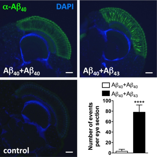 Combining Aβ40 with Aβ43 enhanced Aβ40 immunoreactivity in fly compound eyes. Cryosections from heads of Aβ40+Aβ40- and Aβ40+Aβ43-expressing fly lines and of the GMR-Gal4 driver control line were probed with an Aβ40-specific antibody (green) and counterstained with DAPI (blue) and the number of Aβ40-positive events per eye section was quantified (****p < 0.0001, Student's t test). Scale bar 50 µm