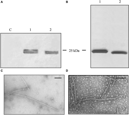 Analysis of PVX nanoparticles. (A) Western blot of N. benthamiana leaf TSP extracts, 24 μl per lane separated by SDS-PAGE and detected with an alkaline phosphatase conjugated anti-PVX CP antibody. C = non-infected leaf extract, 1 = PVX-lipo leaf extract, and 2 = PVX control leaf extract. (B) Silver staining of 750 ng purified particles separated by SDS-PAGE. 1 = PVX-lipo particles and 2 = PVX control particles. Arrows indicate the position of the 25 kDa molecular marker. (C) Transmission electron micrographs of purified PVX-lipo particles and (D) PVX control particles. Scale bar = 100 nm.