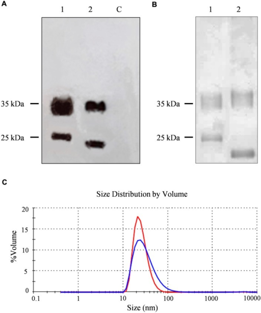Analysis and characterization of CPMV eVLPs. (A) Western blot of N. benthamiana leaf TSP extracts, 11 μl per lane separated by SDS-PAGE and detected with an alkaline phosphatase conjugated anti-CPMV CP antibody. C = non-infected leaf extract, 1 = CPMV-lipo leaf extract, and 2 = CPMV control leaf extract. (B) Silver staining of 2 μg purified particles separated by SDS-PAGE. 1 = CPMV-lipo particles and 2 = CPMV control particles. Arrows indicate the position of the 25 and 35 kDa molecular markers. (C) DLS analysis comparing purified CPMV-lipo (blue line) to unmodified CPMV (red line).