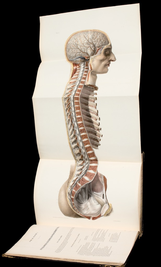 <p>An opened folded Illustration of a book showing a transverse cut exposing an intricate view of the spinal column organs. Facing page contains text in French. Traite, vol. 3, pl. 3.</p>