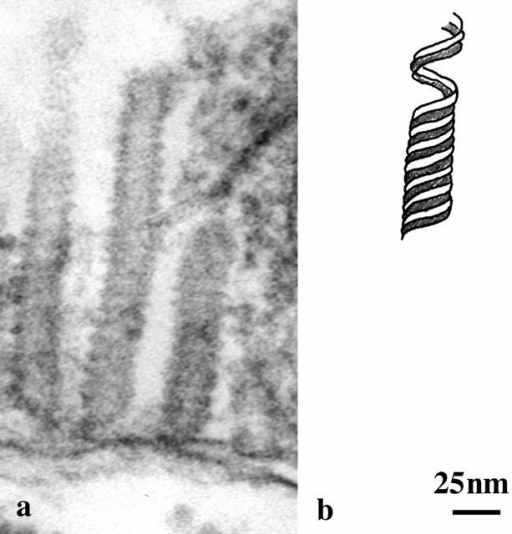 (a) Transmission electron micrograph of tubules from chloroplast of Volvox sp. showing longitudinal section through three tubules with spiral substructure. Micrograph courtesy of J. Pickett-Heaps. (b) Model for tubules redrawn from Hoffman 1967. The architecture and dimensions of the model are remarkably similar (see text) to models for in vitro polymerized tubules of bacterial FtsZ (Trusca et al. 1998; Lu et al. 2000).