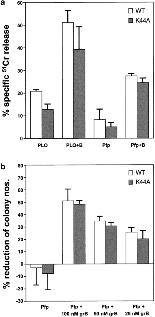 K44A-dynamin–overexpressing HeLa cells are not protected from granzyme B–induced cell death. (a) 51Cr-labeled HeLa cells overexpressing either K44A- or wild-type (WT) dynamin were incubated with sublytic perforin (Pfp) or pneumolysin (PLO) either alone or together with granzyme B (50 nM) for 90 min at 37°C. Specific 51Cr release is shown as the mean of triplicate data points ± standard error. The assay is representative of three similar experiments. (b) Clonogenic survival of K44A- or wild-type (WT) dynamin-overexpressing HeLa cells after incubation with sublytic perforin (Pfp) and various concentrations of granzyme B. Results are shown as the percentage inhibition of colony growth (mean of three cultures ± standard error at each granzyme concentration) compared with untreated cells. Typically, 75–150 HeLa colonies became evident when the cells were untreated. The experiment shown is representative of four similar experiments (as described in Materials and methods).