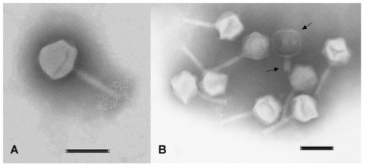 Electron microscope images of F14 and F336. Image A display a F14 phage. Image B display several F336 phages. The phage marked by arrows has a contracted tail and a black head, which show that its DNA has been liberated. The lower part of the tail is broken of. The Scale bars in both pictures are 0.1 μm.