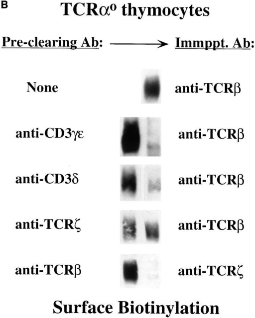 Subunit composition of pre-TCR complexes expressed by  primary explanted thymocytes. (A)Digitonin extracts of biotin–labeled  TCR-α0 thymocytes were immunoprecipitated using Abs reactive with  the following subunits: TCR-β (H57-597), CD3-γ/ε (7D6), CD3-δ (R9)  or TCR-ζ (551). SDS eluates of the resultant immune complexes were  either resolved directly on SDS-PAGE gels under nonreducing conditions (Total) or after neutralization and immunoprecipitation with either  anti-pTα (pTα) or control rabbit IgG (rIgG). Control anti–TCR-α Ab  did not coprecipitate pTα–β heterodimers from TCR-α0 thymocytes  (data not shown). (B) CD3-γ/δ/ε and TCR-ζ are all associated with pTα–β  heterodimers within the same pre-TCR complex. Digitonin extracts of  biotin–labeled TCR-α0 thymocytes were either immunoprecipitated directly with anti–TCR-β or after the detergent extracts had been depleted  of CD3-δ, -γ/ε, or -ζ with Abs reactive with those proteins. Surface-labeled  proteins were visualized by HRP-Av and chemiluminescence.