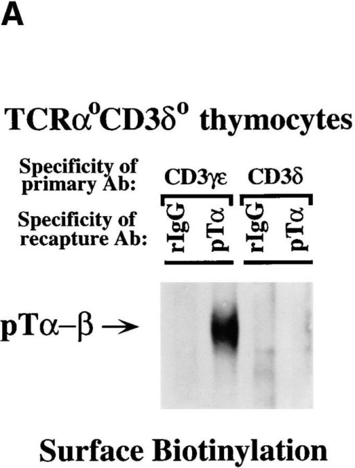 The CD3-δ deficiency  does not attenuate the DN to the DP  transition. (A) The absence of CD3-δ  does not affect pre-TCR expression.  Digitonin extracts of surface biotin– labeled TCR-α0CD3-δ0 thymocytes  were immunoprecipitated with anti– CD3-γ/ε or anti–CD3-δ Abs after  which the resultant immune complexes  were analyzed by recapture assay. Immune complexes were resolved by  one-dimensional SDS-PAGE under  nonreducing conditions. The absence  of any recaptured pTα–β heterodimers in the anti–CD3-δ immunoprecipitations demonstrates the specificity of the anti–CD3-δ Ab. (B)  Thymocytes from both TCR-α0CD3-δ+ and TCR-α0CD3-δ0 mice have the same percentage of CD4+CD8+ cells (top) and express similar levels of  TCR-β on the cell surface (bottom; thick line), as measured by flow cytometry with fluorochrome conjugated mAbs. The thin line represents control staining  with anti–human CD3-ε Ab. The mean number of cells per thymus for each strain is indicated at the bottom of the figure.