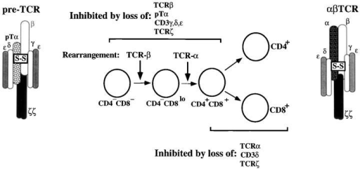 Schematic of the role of the pre-TCR in thymocyte development. After β gene rearrangement, immature thymocytes express surface pre-TCR complexes comprising pTα–β heterodimers associated  with CD3-γ/δ/ε and TCR-ζ signaling subunits. Pre-TCR complexes  are thought to regulate development of thymocytes from the DN to the  DP stage by evaluating the status of the TCR-β protein product after β  gene rearrangement. The molecular interactions underlying this evaluation process are currently unclear; however, development is blocked by  elimination of pTα, TCR-ζ or CD3-γ/δ/ε, but not CD3-δ. Curiously,  elimination of CD3-δ does impair the ability of the α/β-TCR to signal  maturation of DP thymocytes to the CD4+ or CD8+ stage. Thus, while  both pre-TCR and TCR complexes possess the same array of signaling subunits, they exhibit differential dependence on the individual components.