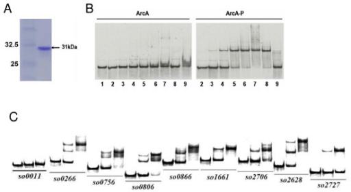 ArcA(-P) Binding to selected promoters by EMSA. (A). Overproduced and purified recombinant S. oneidensis His6-ArcA from E. coli BL21 cells. (B). Interaction of so1661 promoter DNA with S. oneidensis His6-ArcA. The probe was prepared by PCR with SO1661-EMSA-F (33P end-labeled) and SO1661-EMSA-R primers (Table S4 in additional file 5). The EMS assay was performed with 2 nM 33P end-labeled probes and various amounts of ArcA (left panel) or ArcA-P proteins (right panel). The protein concentrations for lanes 1–9 are 0, 0.125, 0.25, 0.5, 1.0, 2.0, 4.0, 4.0, 4.0 μM, respectively. Non-specific competitor DNA, (2 μg poly dI·dC), was added (lane 8) and specific competitor (10 μM unlabeled SO1661 probe) was added (lane 9). (C). The binding assay was performed in the presence of 0, 1, or 2 μM ArcA-P and 2–5 nM radiolabeled promoter DNA 0.2 μg/μl poly(dI·dC) was used in all these binding reactions to block non-specific interactions. Promoter region of so0011 (gyrB) was included as negative control. The phosphorylation of the ArcA protein was done with carbamoyl phosphate.