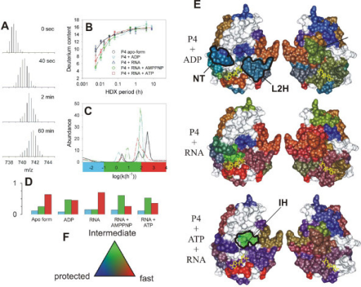 Mapping functional dynamics in the hexamer of P4 from bacteriophage ϕ8 [114]. Mass/charge (m/z) spectra corresponding to the peptic fragment encompassing residues 139–158 (m = 2210.14 Da, z = 3) during H/D exchange (only interval 0 to 60 min shown). (B) Increase of deuterium content in the peptide (symbols) and the corresponding maximum entropy fit (MEM) for P4 alone (black circles, solid line), P4+1 mM poly(C) (blue triangles, dotted), P4 + 1 mM poly(C) + 1 mM ATP (red squares, dashed line), P4 + 1 mM poly(C) + 1 mM AMP-PNP (green diamonds, dash-dot-dot) and P4 + 1 mM ADP (cyan inverted triangles, dash-dot). Standard deviations (error bars) were estimated from three independent experiments. (C) Rate distributions obtained by MEM fitting of data in panel B. The color bar under the panel indicates the three integration regions which were used to obtain the number of sites within each rate class (blue = slow/protected, green = intermediate, red = fast/unprotected). (D) Number of amide sites in the three classes and under different conditions (nucleotide di/triphosphates, RNA binding) obtained from data in panel C, bar colors as in panel C. (E) RGB representation of the HDX kinetics for subunit interfaces. The two facets (left and right) represent the facing interfaces from the neighboring subunits in a surface representation. Bound ATP molecule is shown in yellow ball-and-stick representation. Several regions of interest are delineated: NT-nucleotide binding pocket; L2H-loop 2 and α-helix 6 which constitute the moving lever of the motor; IH-interfacial helix which becomes transiently exposed during ring opening and RNA loading. (F) Three-color, RGB scale for number of amides exchanging in the three classes.