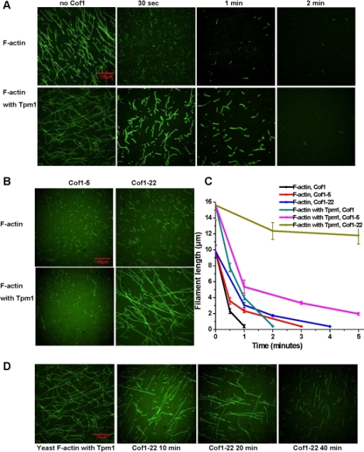 Severing of Tpm1-bound yeast F-actin by Cof1 but not Cof1-22.A) Representative confocal images of F-actin (5 µM), assembled without (upper panels) or with Tpm1 (lower panels), after incubation with 50 nM Cof1 for lengths of time as indicated (see Materials and Methods for more details). B) Representative confocal images of F-actin (5 µM), assembled without (upper panels) or with 5 µM Tpm1 (lower panels), after incubation with 50 nM Cof1-5 (left panels) or Cof1-22 (right panels) for 2 min. C) Measurements of actin filaments length from images recorded in experiments in (A) and (B). Shown are averages of filament length measurements from three fields per sample with error bars representing standard deviations. D) Representative confocal images of F-actin (5 µM), assembled with 5 µM Tpm1, after incubation with 50 nM Cof1-22 for lengths of time as indicated.