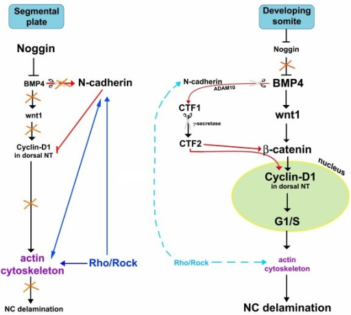 The role of Rho/Rock signaling in the molecular network underlying neural crest (NC) delamination. Opposite the segmental plate mesoderm, high levels of noggin result in low bone morphogenetic protein (BMP) activity, no Wnt1 transcription, low cyclin D1 in dorsal neural tube (NT) and no NC cells emigrating from the caudal NT. N-cadherin at this stage is expressed in the dorsal NT where it contributes to maintaining low cyclin D1 and lack of NC emigration. Rho activity through Rock helps maintaining membrane-bound N-cadherin and keeps a stable F-actin cytoskeleton. Together with the previous, direct N-cadherin-F-actin interactions contribute to the maintenance of epithelial premigratory NC. With ongoing development, opposite mature epithelial and dissociating somites, a factor emitted by the dorsomedial portion of the paraxial mesoderm inhibits noggin transcription in the NT, thereby relieving BMP activity. BMP4 in turn triggers Wnt1 transcription. Canonical Wnt signaling positively modulates transcription of cyclin D1, G1/S transition and NC cell delamination. In parallel, BMP4 via ADAM10 promotes N-cadherin cleavage into soluble CTF2. CTF2 may act in at least two ways, by upregulating β-catenin transcription and by binding β-catenin protein; we proposed that the complex translocates into the cell nucleus where transcription of target genes such as cyclin D1, followed by G1/S transition and epithelial-to-mesenchymal transition (EMT) of NC are stimulated. Hence, BMP activity transforms N-cadherin into a stimulatory signal (for details, see [31]. Concomitant with delamination, membrane-bound Rho proteins are downregulated, suggesting reduced activities of both Rho and Rock proteins; consequently, a dynamic turnover of stress fibers is made possible and N-cadherin association to the membrane is relieved. Altogether, these processes are compatible with generation of cellular movement downstream of the G1/S transition phase.