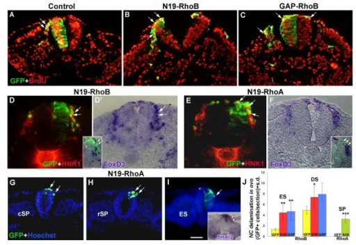 Inhibition of either RhoA or RhoB activities enhances neural crest (NC) delamination in ovo. (A-C) Transverse sections at a dissociated somite level showing the emigration of control green fluorescent protein (GFP)-expressing (A,A'), N19-RhoB-expressing (B,B') and GAP-RhoB-expressing (C,C') NC cells (green). Note in (A',B',C') that most delaminating progenitors are also bromo-deoxyuridine (BrdU)+ (red; arrows pointing at double-labeled cells). (D,D') Transverse section at a similar level as in (A-C) of a hemi-NT that received N19-RhoB (green) and was further stained for HNK-1 (red in (D)) and FoXD3 mRNA (D' and inset). Transfected emigrating cells are positive both for HNK-1 and FoXD3 (arrows). (E, F) Two transverse sections of embryos that received N19-RhoA (green) and were further processed for HNK-1 immunostaining (E, red) or FoXD3 in situ hybridization (F and inset). Note that delaminating cells that received N19-RhoA also express HNK-1 or FoxD3 (arrows). Note as well that the transfected hemi-NT cells lost their normal pseudostratified appearance and are rounded. (G-I) Transverse sections through the caudal segmental plate (cSP) level (G), rostral segmental plate (rSP) level (H), and recently formed epithelial somite (ES) (I) of embryos that received N19-RhoA. Note premature delamination of NC progenitors expressing N19-rhoA/GFP (arrows) on a background of Hoechst nuclear stain (blue) or co-expressing Snail2 mRNA (inset in (I)). No delamination from these axial levels is observed upon transfection of control GFP (not shown). Note that at these very caudal levels of the axis, electroporation was predominantly dorsal due to positioning of the electrodes at a slightly more rostral level in order not to damage the gastrulating area of the axis. (J) Quantification of NC delamination (*p < 0.05, **p < 0.01, ***p = 0.0001). DS, dissociating somite; ES, epithelial somite; s.d., standard deviation; SP, segmental plate. Bar: 45 μM (A-F); 53 μM (G-I); 83 μM, insets in (D,E,I).