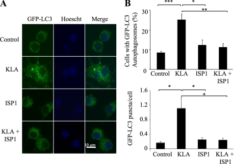 KLA-induced autophagy is dependent on de novo sphingolipid biosynthesis. RAW264.7 cells stably expressing GFP-LC3 were incubated for 24 h with vehicle control (PBS), KLA (100 ng/ml), ISP1 (1 μm), or KLA + ISP1. For cells treated with KLA + ISP1, ISP1 was added 1 h prior to the addition of KLA. A, representative images. B, number of cells displaying GFP-LC3 puncta (upper panel) and the number of GFP-LC3 puncta/cell were quantified using ImageJ. For each experimental condition, a minimum of 195 cells/experiment were counted. Data represent mean ± S.E. (n = 4). *, p ≤ 0.05; **, p ≤ 0.01; ***, p ≤ 0.001.