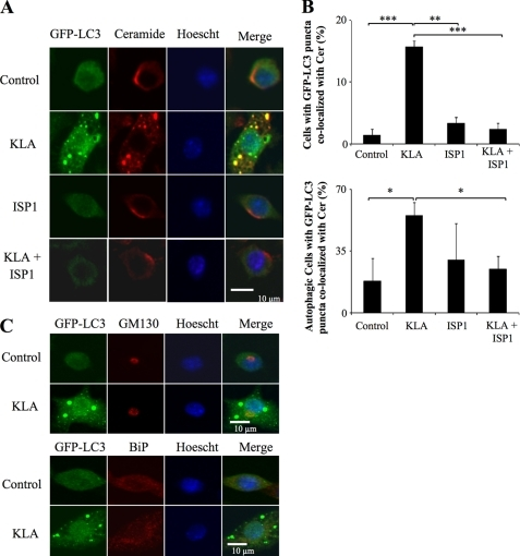 KLA promotes the co-localization of ceramide with the autophagosome. RAW264.7 cells stably expressing GFP-LC3 were incubated for 24 h with vehicle control (PBS), KLA (100 ng/ml), ISP1 (1 μm), or KLA + ISP1. For cells treated with KLA + ISP1, ISP1 was added 1 h prior to the addition of KLA. A, following treatment, the extra- and intracellular Cer was stained for all conditions. Representative images. B, number of cells displaying GFP-LC3 puncta co-localized with ceramide (upper panel) was quantified using ImageJ. For each experimental condition, a minimum of 150 cells/experiment were analyzed for ceramide co-localization. Data represent mean ± S.E. (n = 4). Lower panel, number of autophagic cells displaying GFP-LC3 puncta co-localized with Cer was quantified using ImageJ. For each experimental condition, a minimum total of 40 autophagic cells were analyzed for Cer co-localization. Data represent mean ± S.E. (n = 4). *, p ≤ 0.05; **, p ≤ 0.01; ***, p ≤ 0.001. C, RAW264.7 cells stably expressing GFP-LC3 were incubated for 24 h with vehicle control (PBS) or KLA (100 ng/ml). Following treatment, the Golgi complex and endoplasmic reticulum were stained using antibodies against GM130 and BiP, respectively.