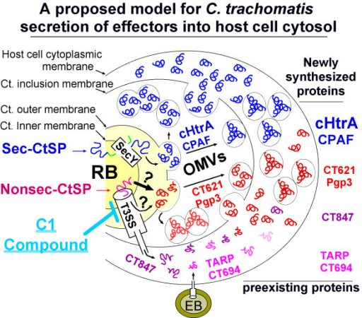 A proposed model for C. trachomatis secretion of effectors into host cell cytosol. When an infectious and metabolically inactive elementary body (EB) attaches to an epithelial cell, preexisting effectors such as TARP and CT694 can be injected into host cell cytosol via a single step type 3 secretion system (T3SS) for facilitating EB invasion. Once the internalized EB is differentiated into a non-infectious but metabolically active reticulate body (RB), newly synthesized chlamydial proteins can be secreted into host cell cytosol via either the single step T3SS (for example, secretion of CT847) or multi-step pathways. The C. trachomatis-secreted proteins (CtSPs) with an N-terminal signal sequence (termed Sec-CtSPs) such as cHtrA & CPAF may be translocated into periplasm via a SecY-dependent pathway while those without any N-terminal signal sequences (Nonsec-CtSPs) may be translocated into the periplasmic space via a novel translocon or a leaking T3SS pathway. The periplasmically localized CtSPs may exit the chlamydial organisms via an outer membrane vesicle (OMV) budding mechanism. The CtSP-laden vesicles in the inclusion lumen can enter host cell cytosol via vesicle fusion with or passing through the inclusion membrane. That's why CT621 can be visualized in granules in the lumen of inclusion and its secretion can also be inhibited by C1, a small molecule inhibitor known to target bacterial T3SS.