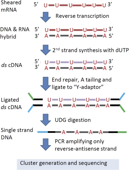 Enforcing strand specificity using dUTP.dTTP is substituted with dUTP during second strand cDNA synthesis. Y-shaped (partial-complementary) adapters are ligated and the dUTP-marked strand is digested with uracil-DNA gylcosylase (UDG). PCR amplification of this single strand confers strand specificity.