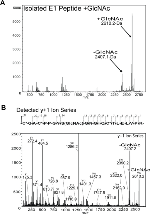 MALDI-TOF/TOF sequencing of O-β-GlcNAc-modified tryptic peptide of the TSP-1 E1 module.The MALDI-TOF spectrum is indicated in (A) with both the −GlcNAc (2407.1-Da) and +GlcNAc (2610.2-Da) E1 module tryptic peptide peaks indicated. The MALDI-TOF/TOF y+1 ion series detected and spectrum are indicated in (B). Note the modification of Ser580 by O-β-GlcNAc from the difference between y13 and y14 ions. Also, note loss of a +203-Da adduct from a portion of the 2610.2-Da isolated peak and reversion to the unmodified peak as indicated.