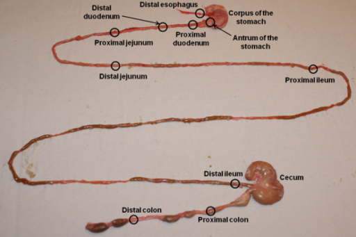 GI sectioning approximately indicating the different sections of the rat GI tract used for analysis. The GI tract was divided into twelve segments: the esophagus, the corpus and the antrum of the stomach, the proximal and distal parts of the duodenum, ileum, jejunum and colon, and the cecum.