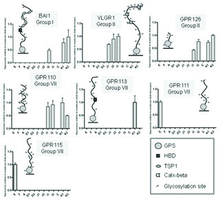 GPCRs with limited expression along the GI tract. Each panel refers to one GPCR showing three pieces of information: group of belonging, N terminal region and relative expression in twelve segments of the GI tract. Expression levels are relative for each gene (maximal level of expression set to 1). Values are plotted as the mean ± SD; n = 3. GPR111, GPR113, GPR115 were only expressed in one sub-segment: the expression value was arbitrarily set to 1 to indicate the presence of expression. Abbreviations for N-termini moieties: GPS, GPCR proteolytic site; HBD, hormone-binding domain; TSP1, thrombospondin; PTX, pentraxin domain. Glycosylation sites (NXS or NXT tripeptide sequences that conform to the consensus sequence for N-linked glycosylation) are shown as small circles attached to the N-termini stretches; E, esophagus; F, corpus of the stomach; A, antrum of the stomach; D1 and D2, proximal and distal parts of the duodenum; J1 and J2, proximal and distal parts of the jejunum; I1 and I2, proximal and distal parts of the ileum; C, cecum; K1 and K2, proximal and distal parts of the colon.