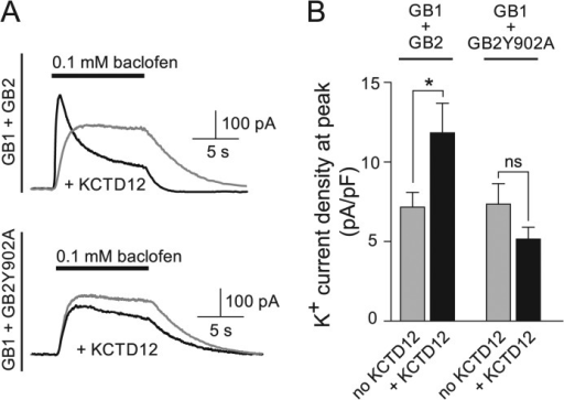 KCTD12 increases the GABAB receptor-mediated peak K+ current amplitude.A, representative outward K+ currents evoked by fast application of baclofen to CHO-K1 cells expressing Kir3.1/3.2 channels and GABAB receptors in the presence (black traces) or absence (gray traces) of KCTD12. GABAB receptors were composed of either GABAB1 and GABAB2 (GB1+GB2) or GABAB1 and GABAB2Y902 (GB1+GB2Y902A) subunits. KCTD12 increases the peak K+ current at GB1+GB2 but not at GB1+GB2Y902A receptors. Whole-cell recordings were made at a holding potential of −50 mV. B, bar graph illustrating that KCTD12 enhances the K+ current density at the peak of the baclofen response in cells expressing GB1+GB2(GB1+GB2 + KCTD12, 11.8 ± 1.9 pA/pF; GB1+GB2, 7.12 ± 0.94 pA/pF; *, p < 0.05) but not in cells expressing GB1+GB2Y902A (GB1+GB2Y902A+KCTD12, 5.10 ± 0.78 pA/pF; GB1+GB2Y902A, 7.30 ± 1.31 pA/pF; p > 0.05). Each bar is the mean ± S.E. of 19–52 cells. ns, not significant.