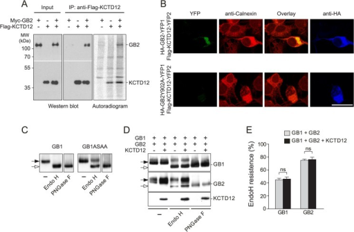 KCTD12 assembles with GABAB receptors at the cytoplasmic side of the ER membrane in transfected COS-1 cells.A, cells co-expressing combinations of FLAG-KCTD12 and Myc-GABAB2 (GB2) were metabolically labeled with [35S]methionine for 15 min. After immunoprecipitation (IP) of FLAG-KCTD12, the precipitated 35S-labeled proteins were separated by SDS-PAGE and visualized using autoradiography. 35S-labeled Myc-GB2 and FLAG-KCTD12 proteins were identified by cross-correlation of autoradiographs with Western blots developed with anti-Myc and anti-FLAG antibodies, respectively. 35S-labeled Myc-GB2 protein co-precipitates with FLAG-KCTD12 protein, showing that KCTD12 interacts with newly synthesized GB2 residing in the ER. MW, molecular weight. B, a YFP protein fragment complementation assay between HA-GB2-YFP1 and FLAG-KCTD12-YFP2 was used to visualize the GABAB2-KCTD12 interaction in the secretory pathway. The fluorescence of reconstituted YFP overlapped with the ER marker calnexin, which was detected with anti-calnexin antibodies. As a negative control, expression of HA-GB2Y902A-YFP1, which does not bind to KCTD12, together with FLAG-KCTD12-YFP2 did not reconstitute YFP. Anti-HA antibodies were used to identify HA-GB2-YFP1 and HA-GB2Y902A-YFP1 in transfected cells (scale bar, 20 μm). C, Endo H and N-glycosidase F (PNGase F) treatment of Myc-GABAB1 (GB1) and Myc-GABAB1ASAA (GB1ASAA), a mutant GB1 protein that escapes ER retention. In contrast to GB1, the GB1ASAA protein is partially Endo H-resistant (filled arrow). D, glycosylation patterns of cell lysates expressing combinations of Myc-GABAB1 (GB1), HA-GABAB2 (GB2), and FLAG-KCTD12 (KCTD12) were analyzed on Western blots following Endo H or N-glycosidase F treatment. Endo H-resistant (filled arrows) and -sensitive (open arrows) forms of GB1 and GB2 are indicated. E, quantification of Endo H-resistant GB1 and GB2 protein did not reveal any significant alterations of subunit maturation in the presence of KCTD12. Data are the means ± S.E. of 3 independent experiments done in duplicates, p > 0.05. ns, not significant.