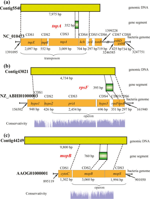 Structures of three large horizontally transferred DNA fragments and their locations in both the donor and receptor genome. The conserved regions between shrimp genomic contigs and corresponding donor genomes are displayed.