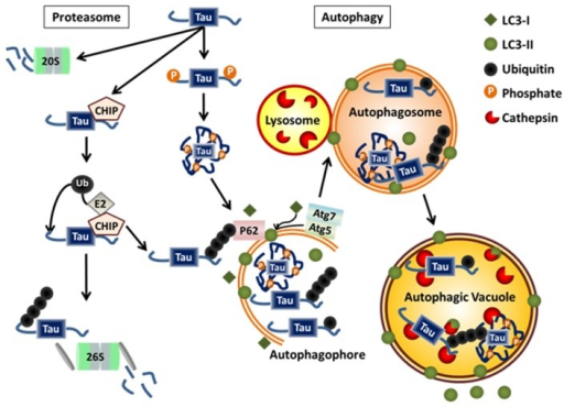 autophagy thesis Lecture goals regulation of macroautophagy as a physiologic response to stress dysregulation of autophagy in disease pathogenesis a tale of two mitophagies: the importance of brakes.