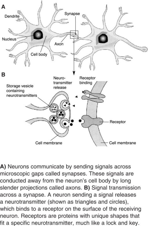 A) Neurons communicate by sending signals across microscopic gaps called synapses. These signals are conducted away from the neuron's cell body by long slender projections called axons. B) Signal transmission across a synapse. A neuron sending a signal releases a neurotransmitter (shown as triangles and circles), which binds to a receptor on the surface of the receiving neuron. Receptors are proteins with unique shapes that fit a specific neurotransmitter, much like a lock and key.