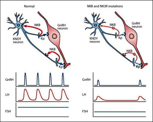 Kisspeptin Gnrh Neurons: Schematic Of Proposed Actions Of A KNDY Neuron On GnRH
