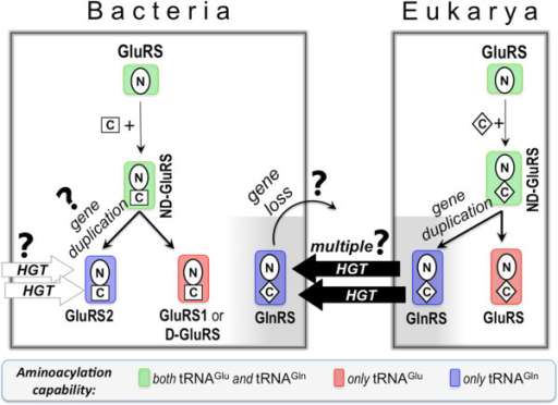 Evolutionary model of bacterial and eukaryal GlxRS. The N-terminal catalytic and the C-terminal anticodon-binding domains of GlxRS are annotated by the letters N and C, and depicted according to their mutual homology (oval: N-terminal domains of all GluRS and GlnRS; diamond: C-terminal domains of all GlnRS and eukaryal GluRS; square: C-terminal domains of bacterial GluRS). tRNAGlx-aminocylation specificities of GlxRS are indicated by color-coded shades. HGT and '?' stand for horizontal gene transfer and 'open questions', respectively.