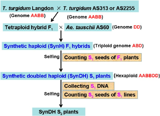 Outline of the production of haploid and doubled haploid populations.