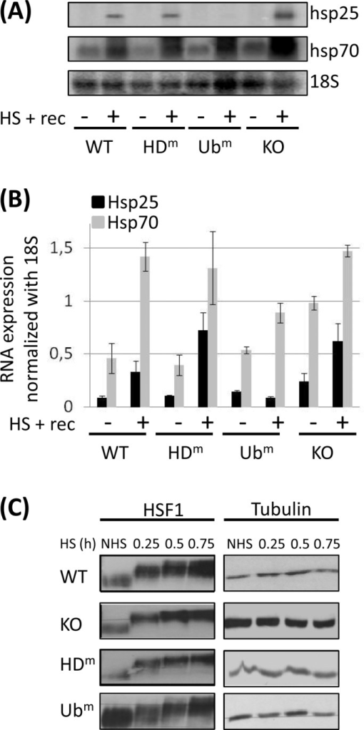 The ZnF-UBP domain of HDAC6 is essential for the heat-induced transcriptional activation of the HSP25 gene. (A) The different cell lines analyzed in Figure 1 were submitted (+) or not (–) to heat shock (HS). After 8 h of recovery, total RNA fractions were prepared and analyzed by Northern blot with probes specific for HSP25 and HSP70 transcripts. A probe specific for the 18S transcripts was used as control. (B) Quantification based on two different Northern blots. Normalization calculated with the signals obtained with probe 18S. (C) Analysis of HSF1 migration profiles in the different cell lines submitted (HS) or not (NHS) to different heat-shock durations display similar kinetics of HSF1 hyperphosphorylation. Whole-cell extracts were analyzed by Western blot with an HSF1 antibody. Tubulin was used as loading control.