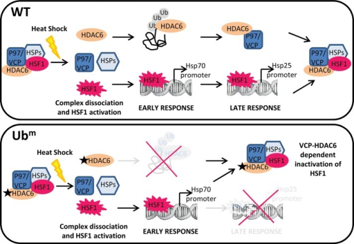 General model illustrating the role of the ubiquitin-binding domain of HDAC6 in the control of the duration of HSF1 activation. In unstressed cells, HSF1 is present in a dormant complex involving HDAC6, p97/VCP, and HSPs. On heat shock, HDAC6 dissociates from HSF1 and binds to polyubiquitinylated (Poly-Ub) proteins, allowing HSF1 binding to HSP70 gene (early response). The activation of the late inducible HSP25 gene (late response) depends on the duration of HSF1 activation and on the quantity of Poly-Ub proteins allowing (high amount) or not (low amount) the sustained activation of HSF1 during the recovery period from stress. Reformation of the inactive HSF1 dormant complex occurs either when poly-Ub proteins are no longer available or when binding of HDAC6 to poly-Ub proteins cannot occur due to a mutation in the Ub-binding domain of HDAC6 (bottom). Reformation of the HSF1 inactive complex requires p97/VCP, whose binding to HDAC6 only occurs when free, poly-Ub unbound HDAC6 is available. In KO cells, absence of VCP-HDAC6 complex impairs reformation of the inactive HSF1 complex, resulting in sustained activation of HSF1 and accumulation of HSP25.