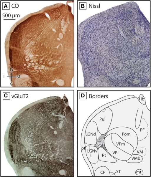 Boundaries of nuclei in the dorsal thalamus at the level of the ventral posterior nucleus in the short-tailed opossum. As in the previous figure, three different stains were used to delineate boundaries; CO (A), Nissl (B), and vGluT2 (C), with reconstructions derived from these stains illustrated in (D). The ventral posterior complex, including VPm and VPl can be seen as a darkly staining region in CO (A) and vGluT2 (C) stained tissue, with VPm staining more darkly. VMb can be seen medial to VP as a lightly stained line of tissue between two darkly stained sections. Lateral to VP, eml stains lightly in all three series. At this level of the thalamus, Pol is intermingled with eml. As in Figure 3, LGNd and LGNv are lateral to the ventral posterior complex, and are most apparent in CO (A) and vGluT2 (C) stained tissue. Near the midline, PF can be seen in CO (A) and vGluT2 (C) stained tissue, being slightly darker than the surrounding nuclei. Finally, dorsal to VMb and medial to VP, the caudal extent of VM could be identified as a lightly stained nuclei in all three series. Conventions as in Figure 3.