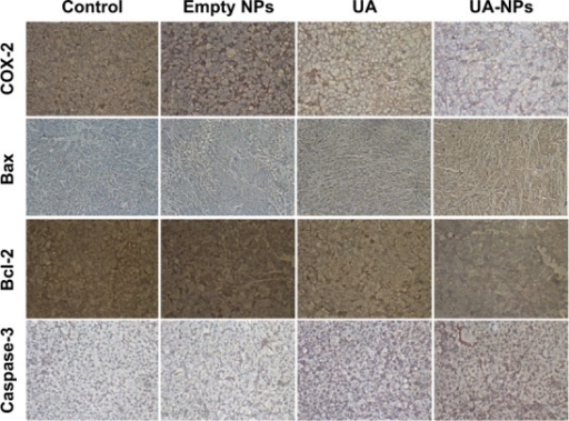 The expressions of COX-2, Caspase-3, Bax, and Bcl-2 proteins in the empty NPs, UA, and UA-NPs groups were determined by immunohistochemical and observed under a microscope (×200).Abbreviations: NP, nanoparticle; UA, ursolic acid; UA-NPs, UA-loaded poly(N-vinylpyrrolidone)-block-poly (ε-caprolactone) nanoparticles.
