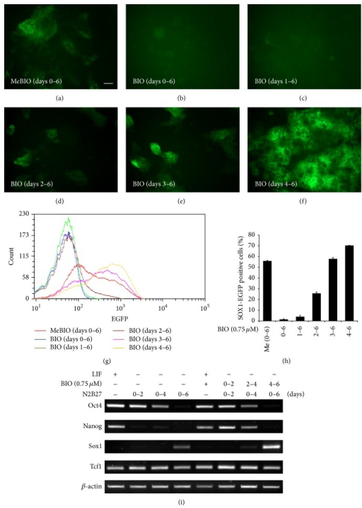 Increase in neural differentiation of precursor cells by GSK3β inhibitor (BIO) during days 4 to 6 in N2B27 medium. (a)–(f) 46C ES cells were cultured in N2B27 medium for 6 days. GFP expression was elevated by BIO treatment (0.75 μM) from days 4 to 6, whereas GFP expression was reduced by BIO treatment (0.75 μM) from days 0 to 3. (g) FACS analysis of Sox1-GFP expression during monolayer differentiation in N2B27 medium. (h) Proportions of Sox1-GFP expressing cells as determined by FACS. (i) RT-PCR analysis showed that Nanog and Sox1 expression were elevated by BIO treatment (0.75 μM) under nondifferentiation and neural differentiation conditions, respectively. Scale bars, 100 μm.