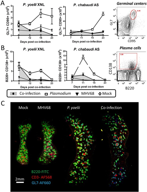 MHV68 suppresses splenic B cell responses during co-infection with Plasmodium.The timeline and experimental set up was identical to that shown in Fig 1A. (A) Absolute numbers of splenic GC B cell populations (B220+ GL7+ CD95+) during P. yoelii XNL and P. chabaudi AS co-infection models with representative gating strategy (Day 12 post P. yoelii or Day 15 post P. chabaudi; Plasmodium vs. co-infected, p<0.05, Mann Whitney U-test). (B) Absolute numbers of splenic plasma cell populations (CD3- B220int CD138+) during P. yoelii XNL AND P. chabaudi AS co-infection models with representative gating strategy (Day 12 post P. yoelii or Day 11 post P. chabaudi; Plasmodium vs. co-infected, p<0.05, Mann Whitney U-test). (C) Spleen section for mock infected, MHV68 infected, P. yoelii XNL infected and MHV68 and P. yoelii XNL co-infected animals at day 8 post infection with P. yoelii XNL (or day 15 post-infection with MHV68). Green: B220-FITC (B cells), Blue: GL7-AF660 (Germinal center B cells) and Red: CD3-AF568 (T cells).