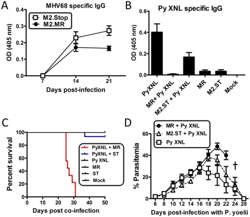 The MHV68 M2 gene product is necessary for virus mediated humoral suppression and lethality during Plasmodium co-infection.(A) MHV68 specific IgG titers from serum of animals infected with the MR (M2.Marker Rescue) or M2.Stop (ST, M2-) viruses. Serum was collected and analyzed on days 7, 14 and 21 post infection with either virus (n = 10/ virus) (Day 21, MR vs. M2.Stop, Kruskal Wallis p<0.05; Dunn's pairwise comparison test p<0.05). (B) P. yoelii XNL specific IgG response during P. yoelii XNL co-infection with either the M2.MR or M2.Stop virus. Serum was collected at day 20 post infection with P. yoelii XNL (WT + P. yoelii co-infected vs. P. yoelii, Kruskal Wallis p<0.05; Dunn's pairwise comparison test p<0.05/ WT + P. yoelii co-infected vs. M2.Stop + P. yoelii, Kruskal Wallis p<0.05; Dunn's pairwise comparison test p>0.05). (C) Survival curve during P. yoelii XNL co-infection with either the M2.MR or M2.Stop virus. Note: data representing P. yoelii XNL + MHV68 co-infection is the identical data set to that in Fig 1B. It was added in panel C for comparative purposes. (D) % parasitemia in the periphery during P. yoelii XNL, P. yoelii XNL +MR and P. yoelii XNL + M2.Stop infection.
