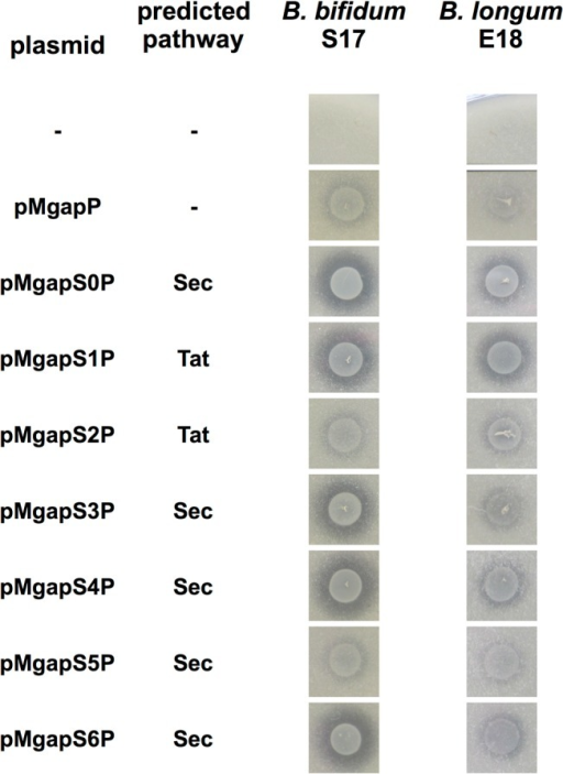 Ca-phytate degradation of recombinant bifidobacteria expressing phytase with different signal peptides.Calcium phytate degradation by recombinant strains of B. bifidum S17 (A) and B. longum E18 (B) harbouring pMgapP-derived plasmids containing different SPs (S0-S6). The control plasmid pMgapP contains no SP and serves as a background control for expression of a non-secreted phytase. Overnight cultures of all strains were spotted in triplicate on RCM agar supplemented with 0.15% calcium phytate and imaged after anaerobic incubation for 48 h at 37°C. One representative spot of three independent cultures is shown.