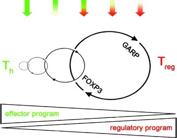 Simplified model of the reprogramming or 'transdifferentation' of effector towards regulatory T cells via the GARP-FOXP3 positive feedback loop. The upper part illustrates the change in the 'quality' of TCR signalling outcome from effector (green) towards regulatory (green) TCR signalling. Thus, each TCR stimulation enhances the positive feedback indicated by the size of the feedback loop illustrated in the middle. For simplicity, other components of the regulatory network described, like LGALS3, LGMN, CD33, CD27 and CD83 or direct impairment of NFAT by GARP have been excluded. Identification of further components, fine tuning, timed-sequential expression and interconnectivity between the components of the regulatory network represents a major challenge for the molecular definition of the regulatory program.