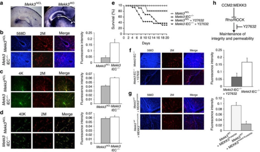 MEKK3 critically regulates the neonatal vascular permeability to small size molecule via suppressing the Rho signals.(a–d) In vivo leakage experiments show only small-molecular-weight tracers leaked from brain microvessels in Mekk3 iKO and iEC−/− neonatal mice. (a) Sulfo-NHS-biotin (556.6 dalton) was injected into the hearts of the tamoxifen-treated Mekk3 NCL or Mekk3 iKO neonatal pups. Brain sections were analysed for Sulfo-NHS-biotin leakage by staining. Objective lens power: 2.5 × . (b–d) Fluorescent-labelled tracers with different molecular weights were injected into tamoxifen-treated Mekk3 NCL or Mekk3 iEC−/− P7 neonatal pups' hearts. After euthanization, brains were fixed and sectioned and tracer leakage to the brain was determined. (b) Hoechst 33342 (616 dalton; blue) plus Dextran–Rhodamine (2 M Dalton; red), N=7, (c) Dextran–FITC (MW: 4K Dalton; green) plus Dextran–Rhodamine (2 M Dalton)(red), N=4, (d) Dextran–FITC (40 K Dalton; green) plus Dextran–Rhodamine (2 M Dalton; red). Bar graphs on the left of each panel show quantification of the relative leakage of the tracers normalized to the intensity of Dextran–Rhodamine, and shows no leakage in either NCL nor Mekk3 iEC−/− neonatal pups. Error bars indicate s.d. N=4. Objective lens power: 10 × . (e) ROCK inhibitor Y27632 partially rescues survival of Mekk3 iEC−/− neonatal pups. NCL or Mekk3 iEC−/− pups were treated with tamoxifen at P1, and continued daily in the absence (open circle and black diamond, respectively) or presence of Y27632 (cross and black triangle, respectively). Survival of pups was monitored daily until P20. (f) Hoechst 33342 (616 Dalton; blue) plus Dextran K–Rhodamine (2 M Dalton; red) were injected into tamoxifen-treated Mekk3 iEC−/− P7 neonatal pups' hearts fed either with water or Y27632. After euthanization, brains were fixed and sectioned at 30-μm thickness and leakage determined as described above. N=5. Objective lens power: 10 × . (g) Wild-type P7 neonatal pups were treated with cell-permeable wild-type Mekk3-peptide (MEKK3N-peptide) or A6D/L7D mutated Mekk3-peptide (MEKK3mutant-N-peptide). Brain leakage determined using Hoechst 33342 (blue) plus Dextran K–Rhodamine (red). N=5. Objective lens power: 10 × . (h) Proposed signalling pathway. The interactions of CCM2 and MEKK3 are critical for maintenance of vasculature integrity and permeability by control of Rho/ROCK signalling.