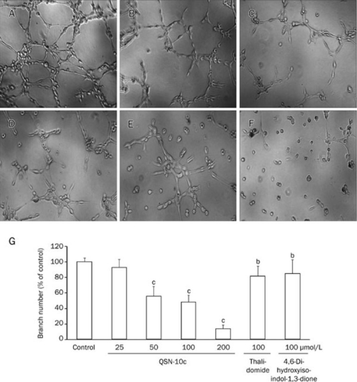 QSN-10c inhibits capillary structure formation of endothelial cells on Matrigel. (A) HUVECs cultured on Matrigel were treated with only DMSO (0.1%). (B, C) HUVECs cultured on Matrigel were treated with 100 μmol/L of thalidomide and 4,6-dihydroxyisoindol-1,3-dione, respectively. (D–F) HUVECs cultured on Matrigel were treated with various concentrations of QSN-10c (50, 100, and 200 μmol/L). (G) Quantitative comparison of the numbers of branching points in different groups. Cells receiving only DMSO (0.1%) served as a vehicle control, thalidomide as a positive control. Data are expressed as percentages of the vehicle control (100%) in mean±SD from three independent experiments. bP<0.05, cP<0.01 compared with control.